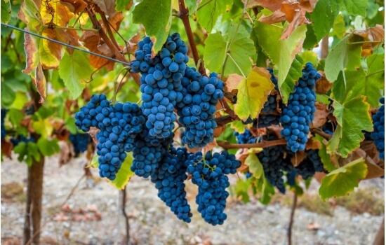A Touriga Nacional é uma das castas mais utilizadas na produção destes vinhos