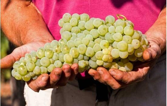A uva viosinho é utilizada mais frequentemente na produção dos vinhos de tom claro