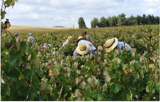 Os produtores de Moscatel não são muitos, mas o seu trabalho é árduo nas vindimas