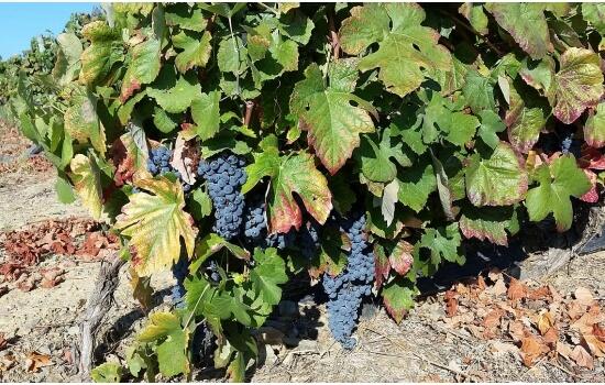 A qualidade dos vinhos do Douro deve-se à mistura das várias castas existentes na região