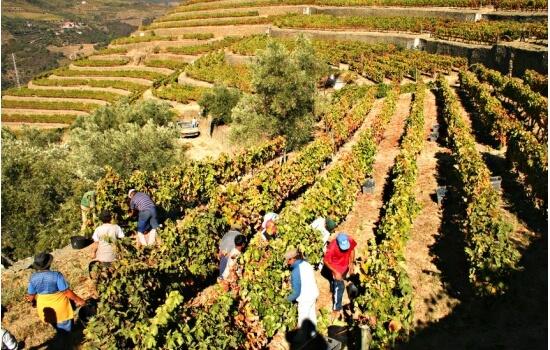 Os famosos socalcos do Douro são uma obra-prima, criada pelos primeiros produtores da região