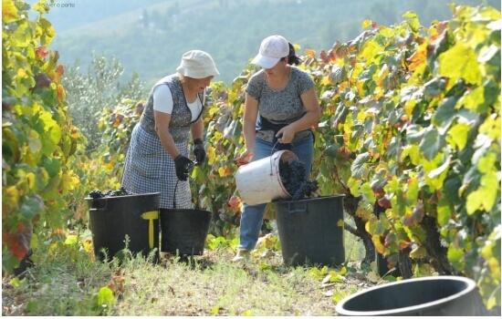 Os diferentes tipos de vinhos do porto devem-se às diversas castas encontradas na região do Douro