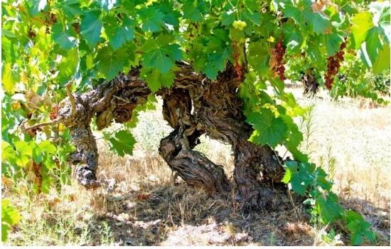 As vinhas desta região produzem alguns dos melhores vinhos e espumantes