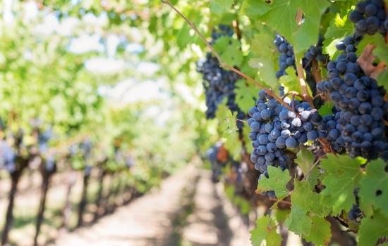 As uvas para produzir o Vinho do Porto