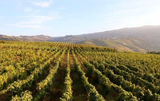 Entre as vinhas do Vale do Douro em Portugal