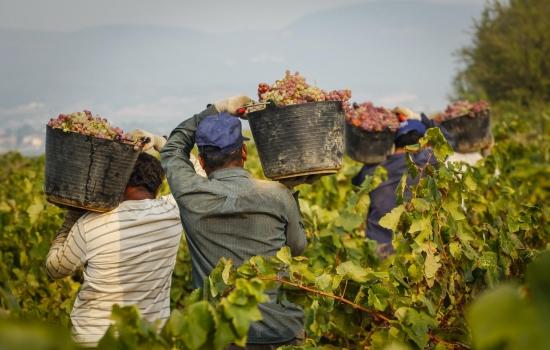Colheita de uvas na época das vindimas nas Quintas do Douro