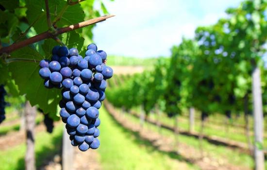 Os vinhos do Douro são mundialmente famosos