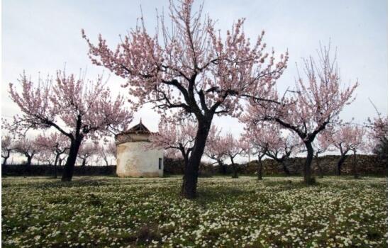 As amendoeiras em flor são um dos cenários mais bonitos da região