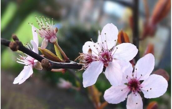 A beleza destas árvores em flor chama visitantes de todo o mundo